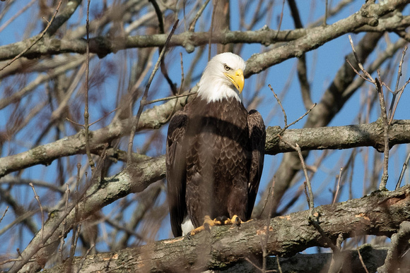 Photograph of an eagle roosting in the trees at the Conowingo Dam Northstar Gallery
